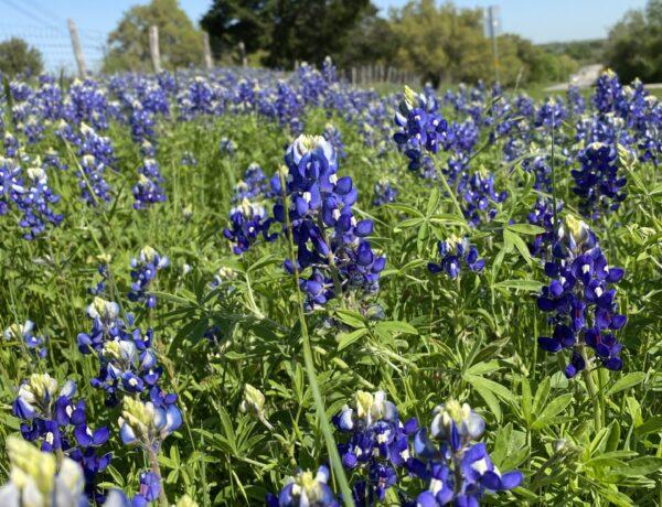 The bluebonnet fields in Texas spread joy naturally.