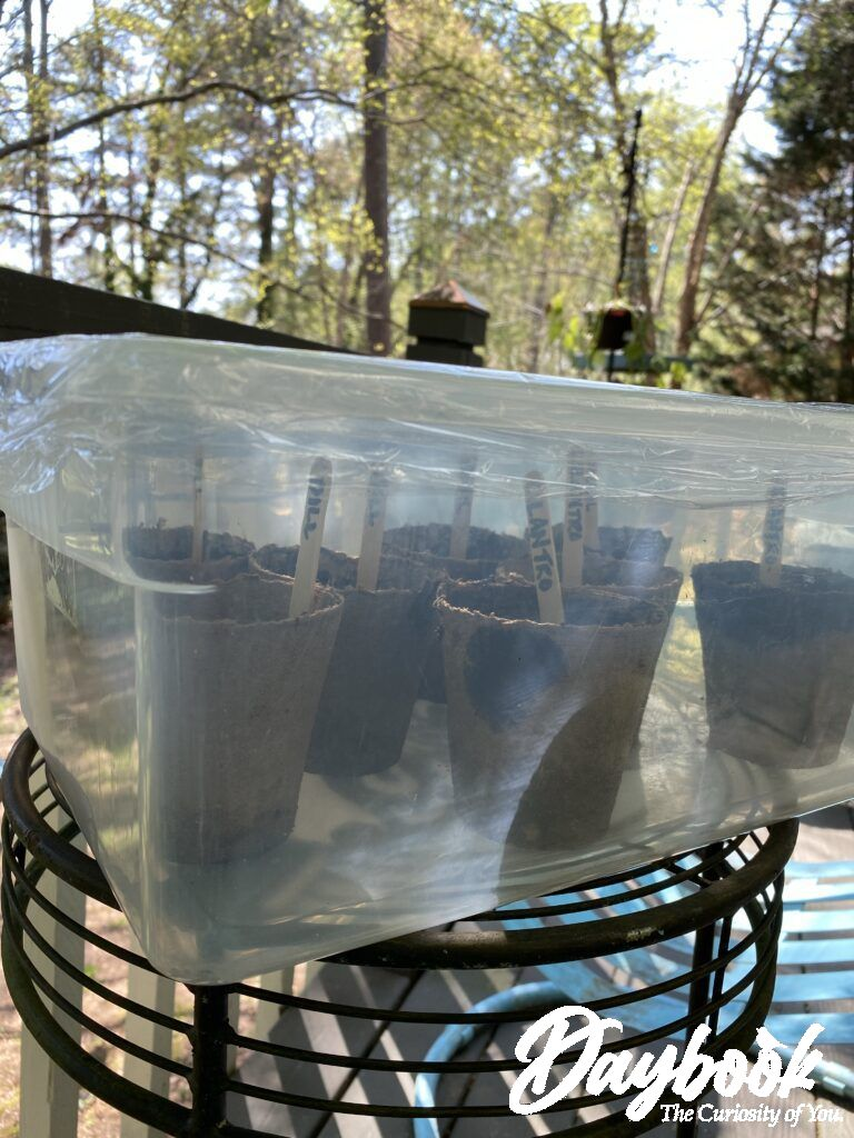 Cover the Jiffy pots with plastic to create a green house for the seeds.