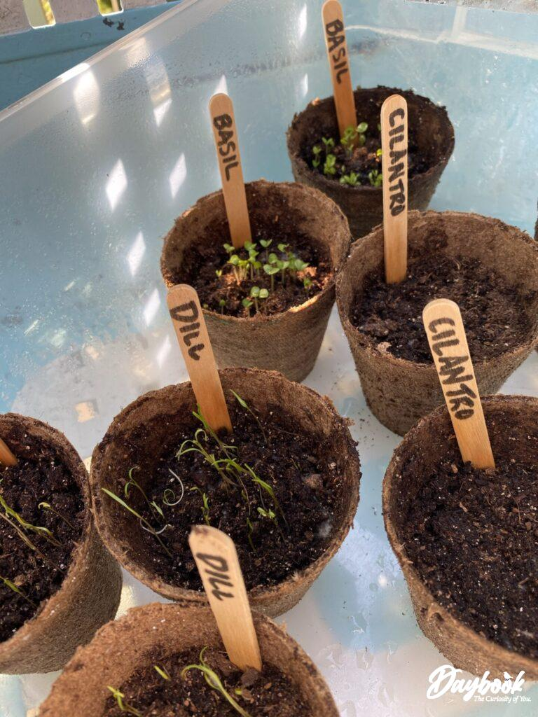 Starting herb seeds by using Jiffy Pots and placing them in a container for easy transport.