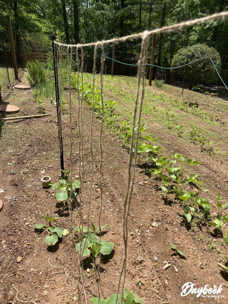beginning cucumber trellis