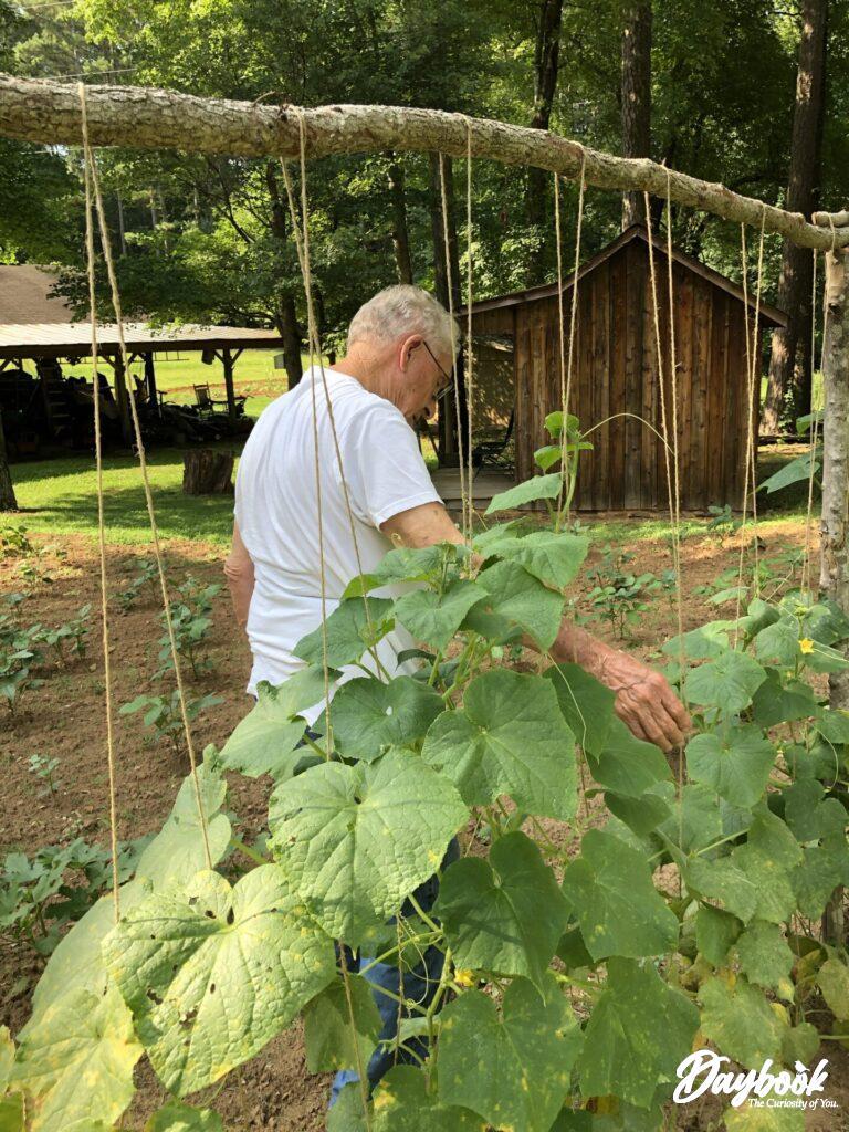 cucumber vines on trellis