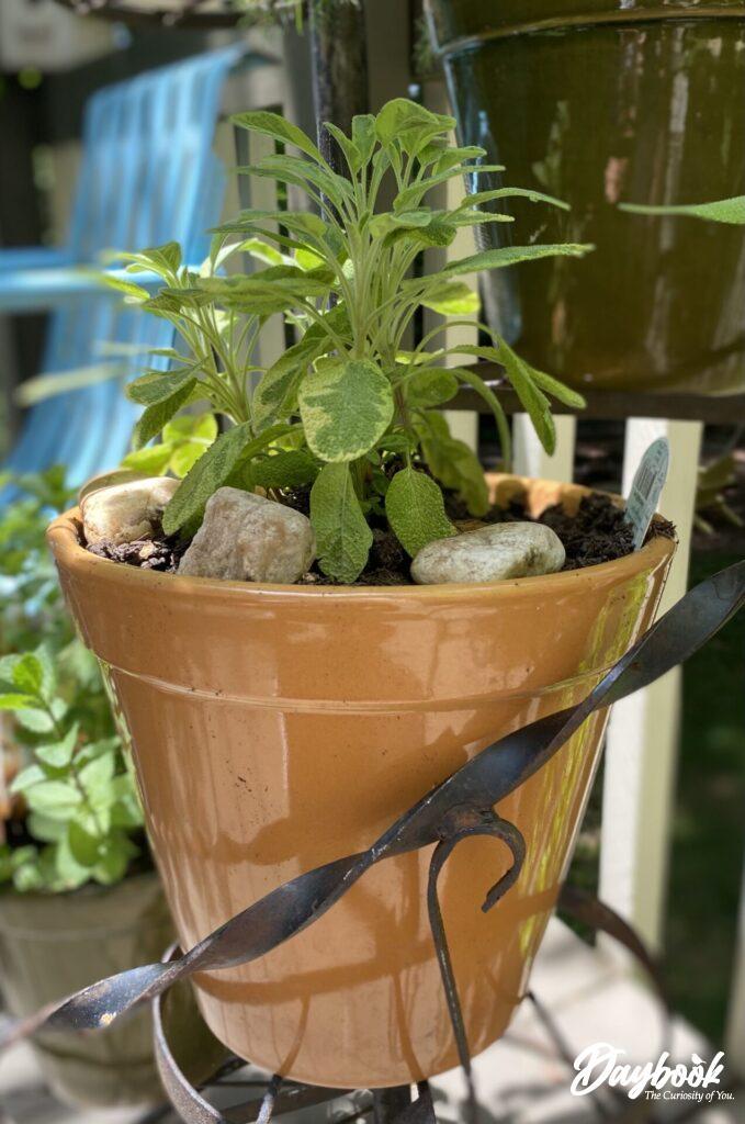 golden sage herb