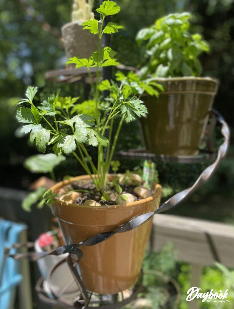 parsley planted in pot
