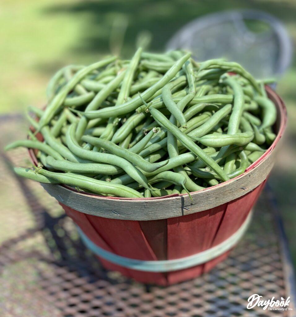 red basket full of green beans
