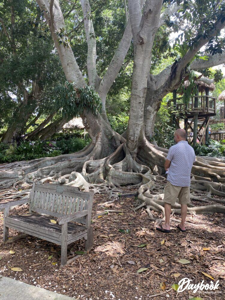 man in front of a large banyan tree