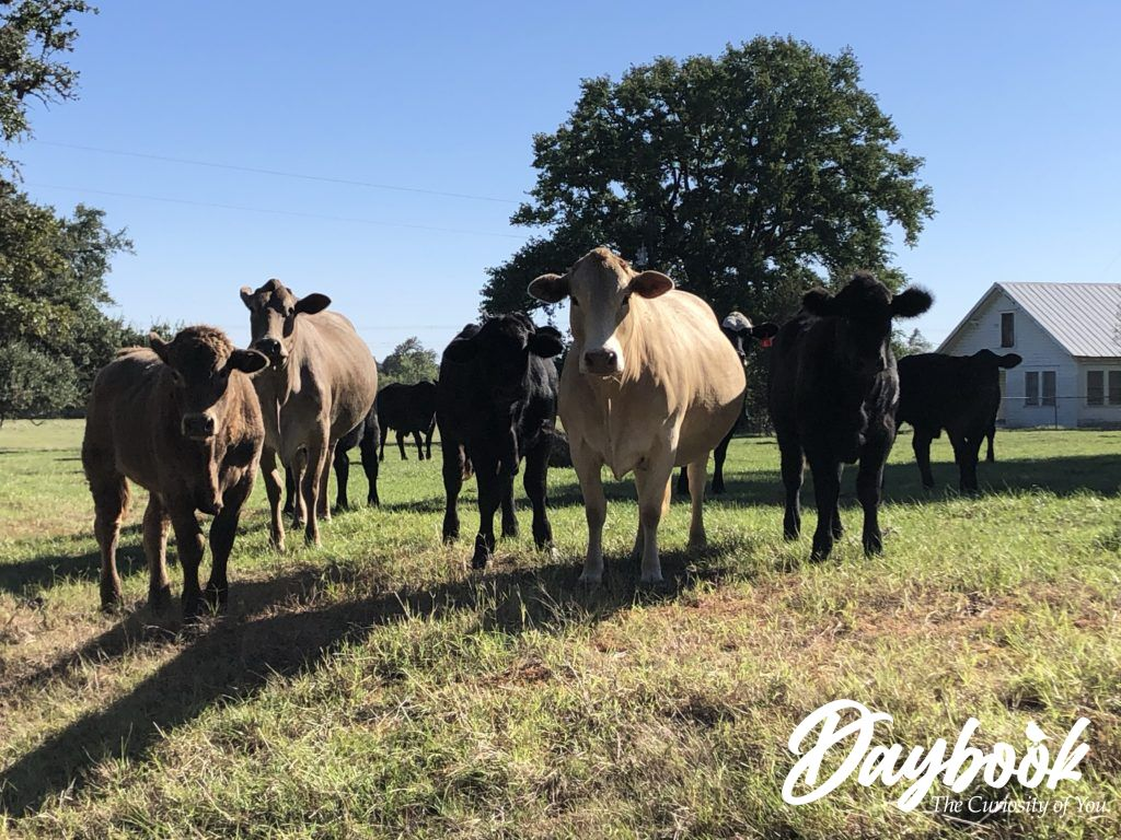 cows in a Texas field facing the camera
