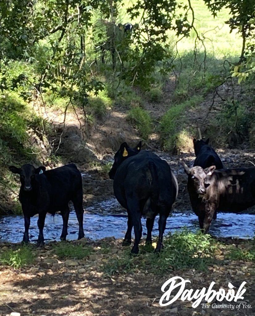 cows in a valley near a stream