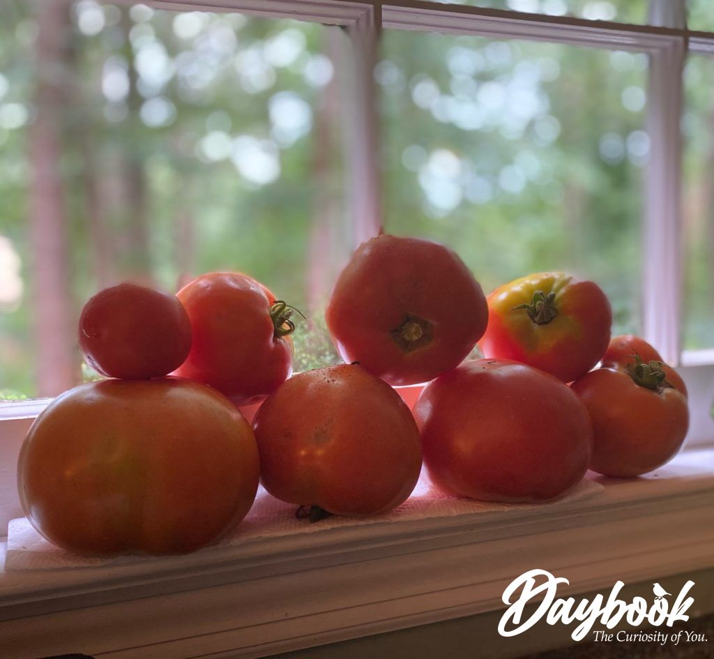 red tomatoes on a sunny windowsill